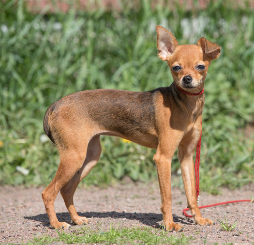 RUSSIAN TOY TERRIER, FEMALE