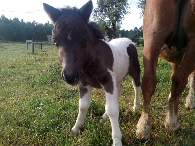 MINIATURE SHETLAND PONI FILLY (GIRL)