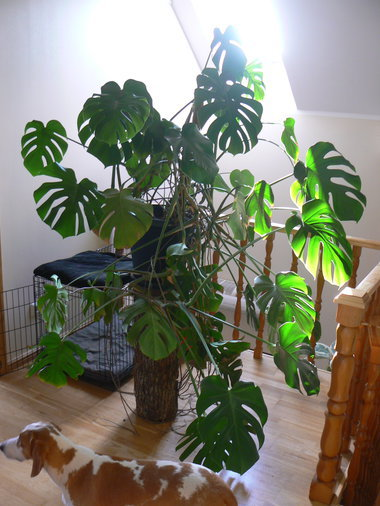 MONSTERA JA HAVISABA