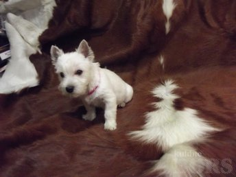WEST HIGHLAND WHITE TERRIER ( EESTI KENNELL ): 13 / 11 / 2018