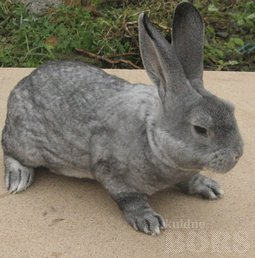 RABBIT REX SHINSHILLA