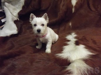 WEST HIGHLAND WHITE TERRIER ( EESTI KENNELL ): 13 /11 /2018