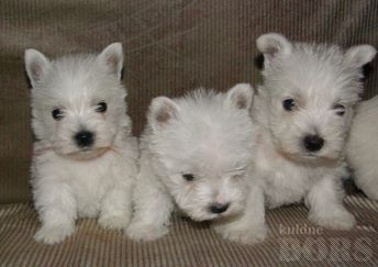 WEST HIGHLAND WHITE TERRIER: WEST HIGHLAND WHITE TERRJER