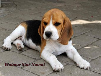 BEAGLE KUTSIKAD: female Wolmar Star Naomi