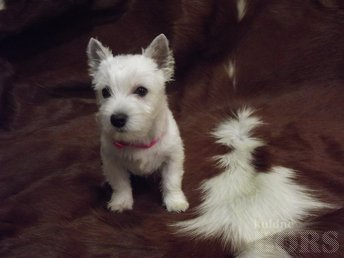 WEST HIGHLAND WHITE TERRIER ( EESTI KENNELL )