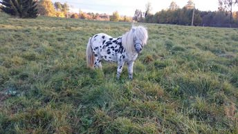 PONY STALION, APPALAUSE BREED