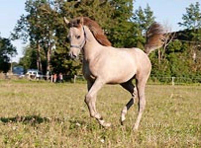 kuldne börs hobused